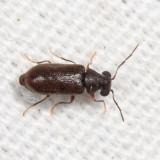 Ernobius granulatus