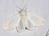 8134 - Agreeable Tiger Moth - Spilosoma congrua