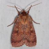 11010 - Lycophotia phyllophora