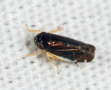 Deltocephalus flavocostatus