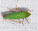 Draeculacephala mollipes or robinsoni