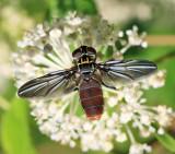 Trichopoda sp.