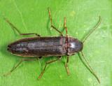 Serropalpus coxalis