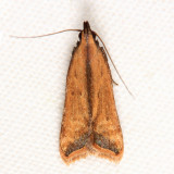 2309 - Black-edged Dichomeris - Dichomeris picrocarpa
