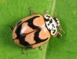 Painted Lady Beetle - Mulsantina picta