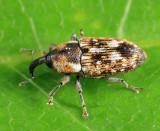 Beet Petiole Borer - Cosmobaris scolopacea