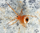 Hentziectypus globosus
