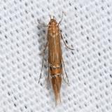 1480 - Cosmopterix delicatella