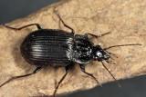 Chlaenius niger