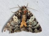8721 - False Underwing - Allotria elonympha