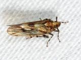 Megamelus paleatus