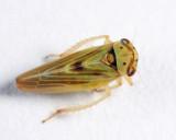 Agalliopsis sp.