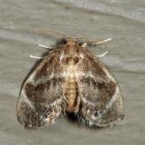 4661 - Elegant Tailed Slug Moth - Packardia elegans