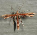 6092 – Himmelman's Plume Moth – Geina tenuidactyla