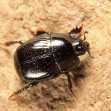 Hypocaccus dimidiatipennis