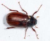 Phyllophaga forsteri
