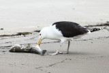 Great Black-backed Gull - Larus marinus (feeding on a Striped Bass)