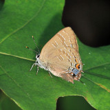 Banded Hairstreak - Satyrium calanus