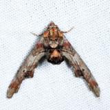 8955 - Dark Marathyssa - Marathyssa inficita