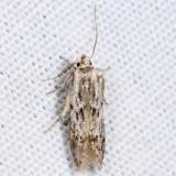 1881.1 – Carpatolechia proximella