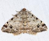 6348 -  Hemlock Angle - Macaria fissinotata