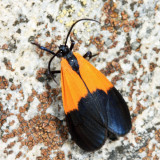8087 - Black-and-yellow Lichen Moth - Lycomorpha pholus
