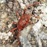 Erythraeinae - Erythraeus sp.