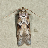 1162 - Acorn Moth - Blastobasis glandulella
