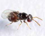 Eulophidae - Tetrastichini