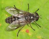 Hybomitra microcephala