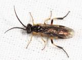 Pachynematus corniger