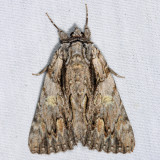 8851 – Scarlet Underwing Moth – Catocala coccinata