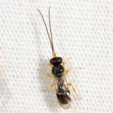 Chelonus sp.