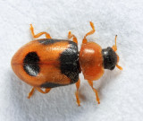 Snow Lady Beetle - Coccidula lepida