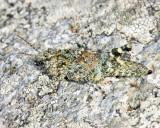 Grasshoppers genus Trimerotropis
