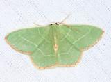 7046 - Red-fringed Emerald - Nemoria bistriaria