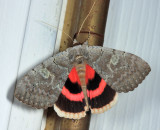 8833 - Pink Underwing - Catocala concumbens