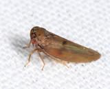 Agalliopsis peneoculata