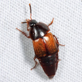 Tachinus sp.
