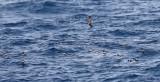 Leach's Storm-Petrel - Oceanodroma leucorhoa (and raft of Wilson's Storm-Petrel - Oceanites oceanicus)