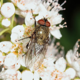 Blow Flies - Calliphoridae