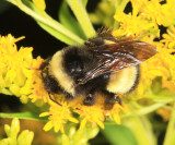 Yellow-banded Bumble Bee - Bombus terricola