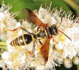 Bembicinae Wasps
