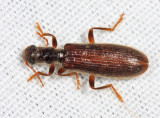 Inornate Checkered Beetle - Cymatodera inornata