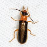 Rhagonycha mollis
