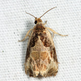 2787 – Bunchberry Leaffolder Moth – Olethreutes connectum