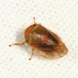 Clastoptera testacea