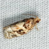 3597 - Red-banded Leafroller - Argyrotaenia velutinana