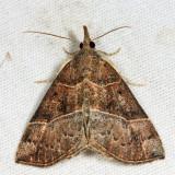 8446 – Deceptive Bomolocha Moth – Hypena deceptalis