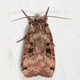 10943 - Norman's Dart Moth-Xestia normaniana